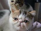 自家繁育加菲猫一公一母
