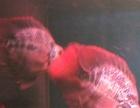 出售精品台湾麒麟鹦鹉鱼