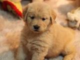 重庆出售 金毛幼犬狗狗出售 包纯种 包健康