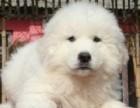 南昌哪有大白熊犬卖 南昌大白熊犬价格 南昌大白熊犬多少钱