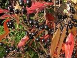 不老莓苗 黑果花楸苗 黑果花楸种植基地