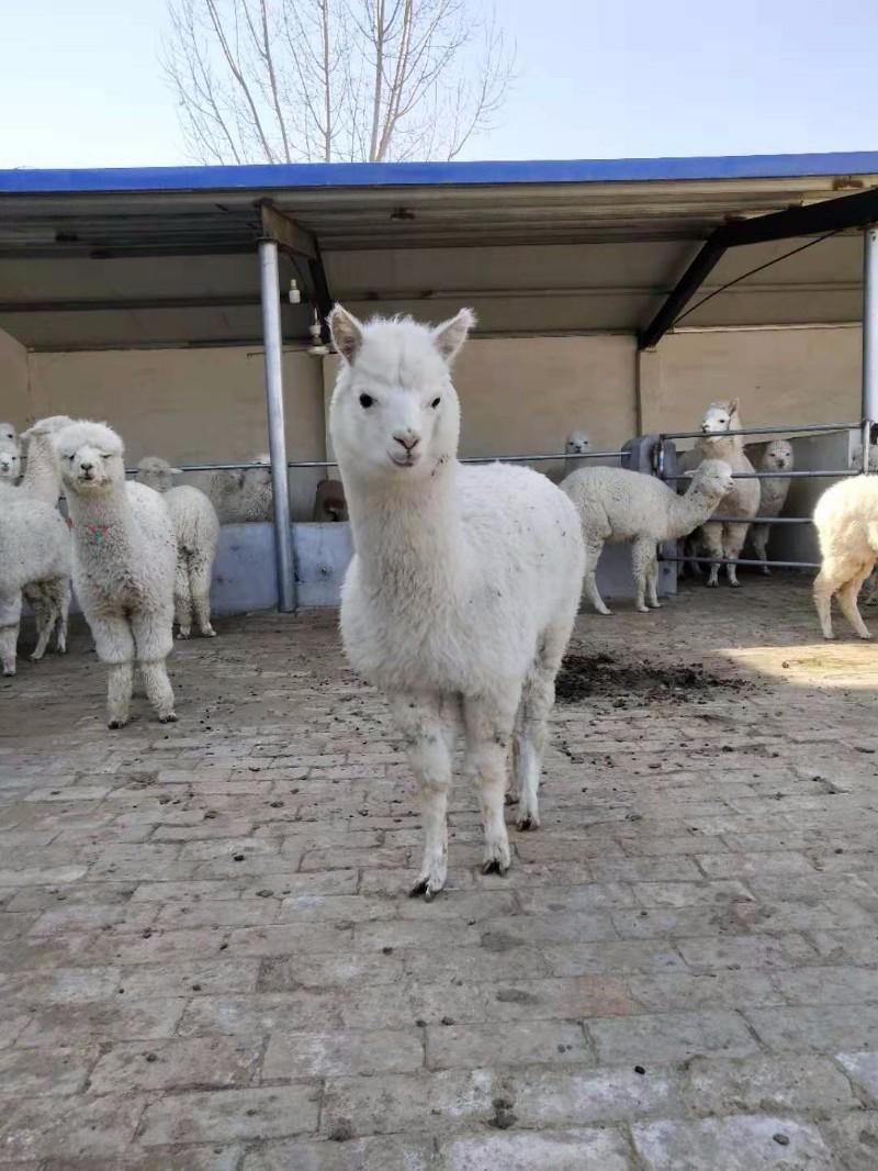羊驼哪里有