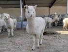 哪里有卖宠物羊驼的 骆驼多少钱一只