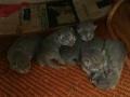 家养蓝猫2000一只