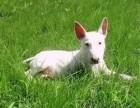 深圳疫苗齐全纯种牛头梗犬幼犬出售健康迷你鹅蛋脸海盗眼送货上门