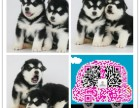 重庆哪里有阿拉斯加狗狗卖重庆哪里能买到便宜又好看阿拉斯加宝宝