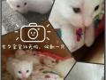 七夕出生的情人节礼物,纯白小奶猫