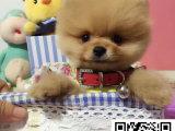 超小体俊介博美犬 哈多利球体博美幼犬包健康纯种终身