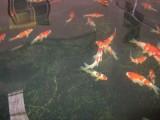 发财鱼 好运鱼锦鲤出售