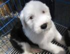 古牧 、赠送狗用品、包健康包养活、签协议