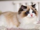 可送貨上門 貨到付款家養布偶藍貓加菲貓金吉拉帶有檢疫證明