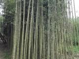 竹子种植基地出售早园竹金镶玉竹刚竹罗汉竹紫竹送货