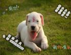 哪里有纯种杜高狗狗卖 **杜高幼犬三个月 猎犬之王