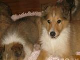加微信zycw0717,家养纯种苏格兰牧羊犬宝宝找新家,可看