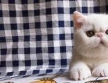 全价3800元双C加菲猫CFA繁育级法系纯血