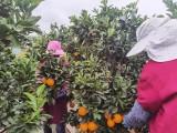 江西贛南臍橙 果園直供 現摘現發 尋找合作伙伴