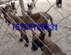 怎么驯养马犬,马犬多少钱一只吗,哪里出售马犬,马犬图片