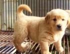 超萌金毛寻回犬高端品质疫苗打好金毛幼犬直销