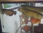 银龙鱼,金龙鱼,鹦鹉鱼