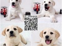 上海狗场直销拉布拉多幼犬 神犬小七同款 高品质品相好 签协议
