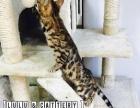 孟加拉豹猫宝宝找麻麻