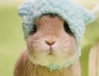 出售侏儒兔垂耳兔兔子喜马拉雅等小宠