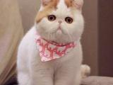 南京布偶猫,美短可免费送猫上门