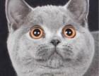猫星人出售蓝猫包邮