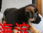海淀基地繁殖出售2-4个月纯种德牧幼犬实物拍摄可送货