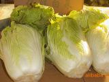 供应 白菜  新鲜蔬菜白菜  基地种植批发 白菜