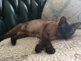北京顺义后沙峪出售暹罗猫,已经绝育