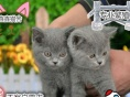 英短蓝猫蓝白加菲猫布偶猫美短美国短毛猫纯家养