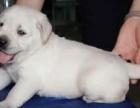 上海家養的一窩純種健康的拉布拉多犬寶寶免費找人領養,公母都有