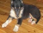 上海出售纯种苏格兰牧羊犬,保健康包纯种可上门签协议