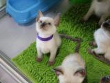上海浦东纯血暹罗猫幼猫一手出售