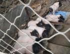 巴马香猪哪里有卖的养殖场 巴马香猪价格