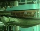银龙、鹦鹉鱼出售