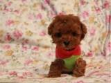 純種家養 泰迪 寶寶私人出售包健康買狗狗送用品