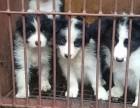 西昌买狗请进 西昌买边牧请进 大型狗场出售边牧幼犬