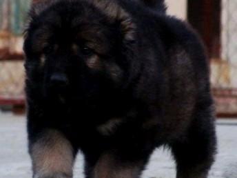佛山市哪里有卖高加索 佛山市哪里有卖高加索幼犬