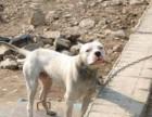 杜高犬便宜出售杜高犬价格