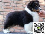 苏格兰牧羊犬幼犬多少钱一只 哪里有卖苏格兰牧羊犬幼犬 苏格兰