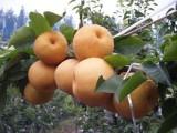 山东省莱西市韩国新高梨大批量上市了 供应韩国梨,好吃才好卖!