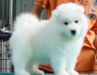 微笑白天使 萨摩耶幼犬 乖巧双眼皮 保健康纯种狗狗
