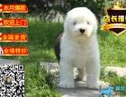 纯种可爱古牧幼犬 白头通背 四蹄踏雪 可上门挑选