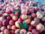 澳门油桃销售价格 山东油桃种植基地\今日大棚油桃价格