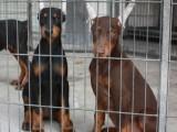 纯种杜宾犬价格 纯种杜宾犬多少钱