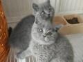 家养英短蓝猫找主人1800