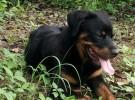 北京市双血统德系罗威纳护卫犬崽低价出售