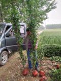 北京通州出售北海道黄杨 大,小叶黄杨各种绿化植物